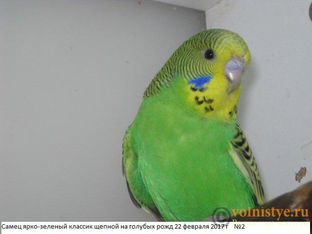 Волнистые попугаи выставочного типа молодежь Москва - IMG_9456.JPG