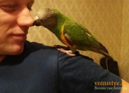 Москва, Сенегальский попугай, выкормыш, 2 года - 0264f0d81b283b.jpg