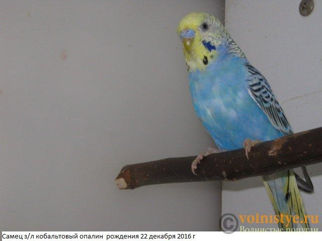 Волнистые молоденькие попугайчики для разговора - IMG_9402.JPG
