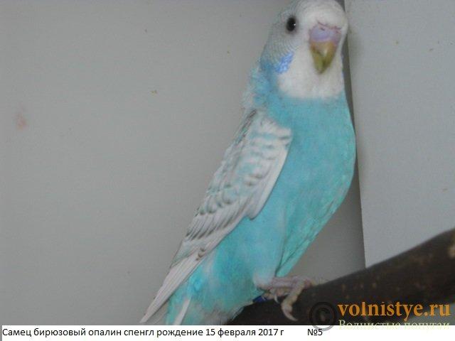 Волнистые молоденькие попугайчики для разговора - IMG_9426.JPG