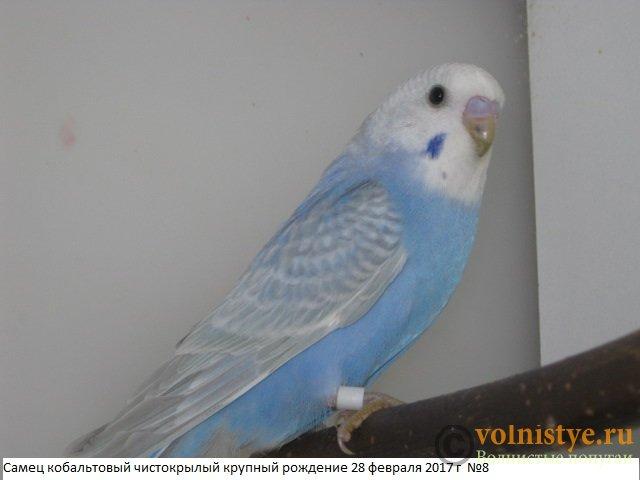Волнистые молоденькие попугайчики для разговора - IMG_9529.JPG