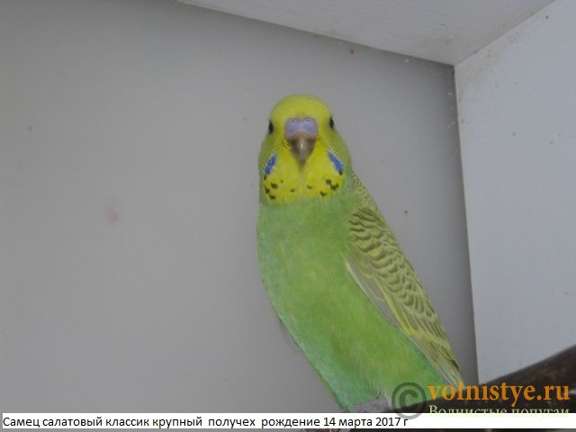 Волнистые молоденькие попугайчики для разговора - IMG_9561.JPG