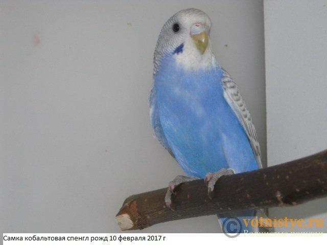 Волнистые молоденькие попугайчики для разговора - IMG_9392.JPG