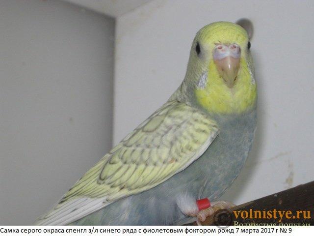 Волнистые молоденькие попугайчики для разговора - IMG_9488.JPG