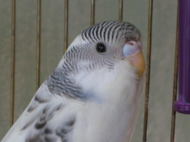 Волнистый попугай - Изображение 145.jpg