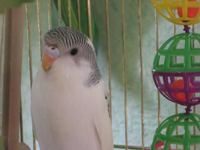 Волнистый попугай - Изображение 140.jpg