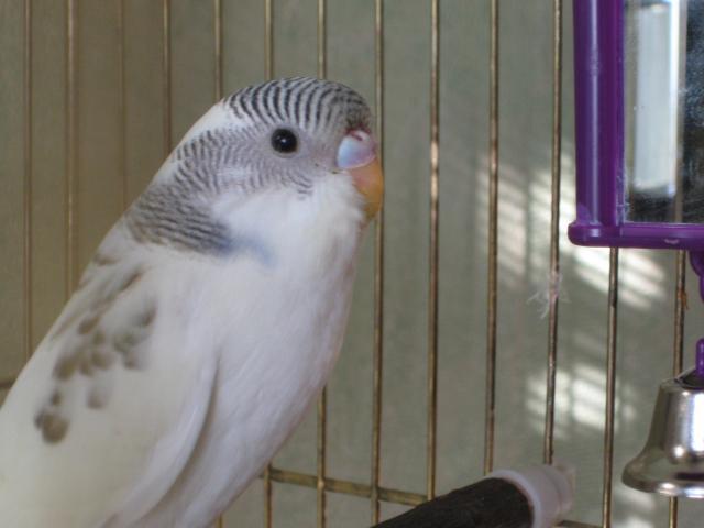 Волнистый попугай - Изображение 141.jpg