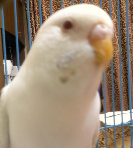 Волнистый попугай - DSC0000192.jpg