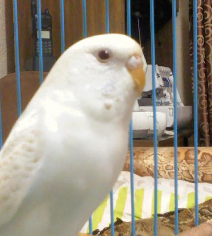 Волнистый попугай - DSC0000186.jpg
