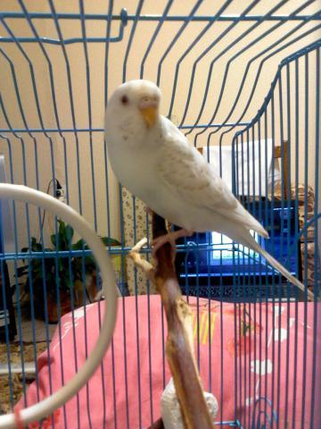 Волнистый попугай - DSC0000173.jpg