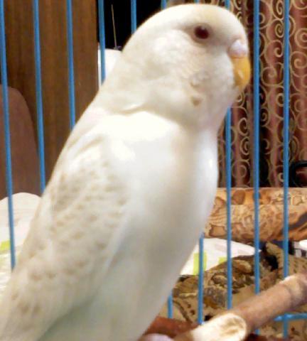 Волнистый попугай - DSC0000180.jpg