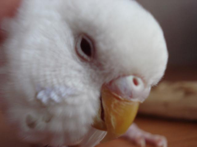 Волнистый попугай - DSC06749.JPG
