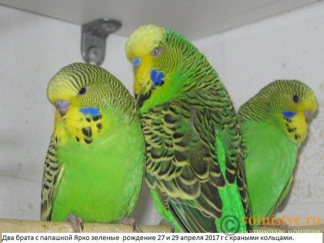 Волнистые попугаи выставочного типа молодежь Москва - IMG_9646.JPG