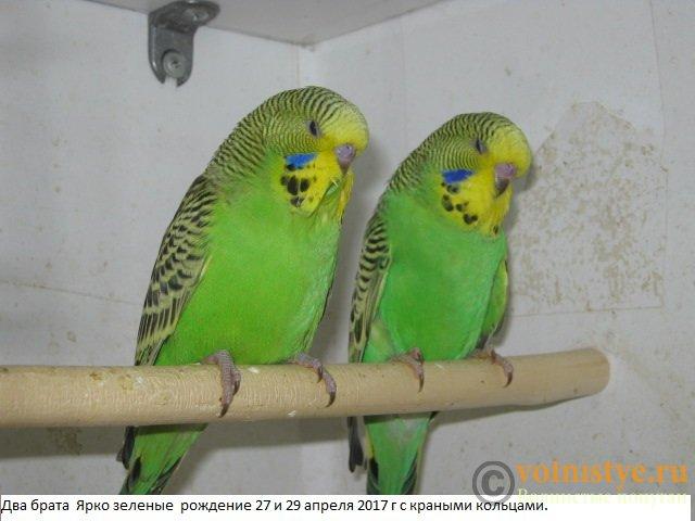 Волнистые попугаи выставочного типа молодежь Москва - IMG_9644.JPG