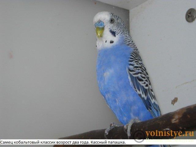 Волнистые молоденькие попугайчики для разговора - IMG_9702.JPG