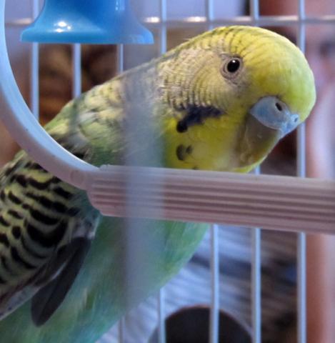 Волнистый попугай - IMG_2405.jpg