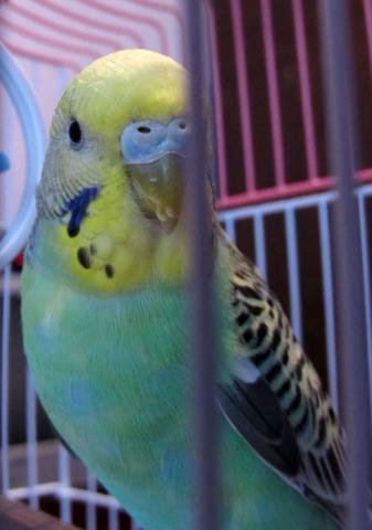Волнистый попугай - IMG_2411.jpg