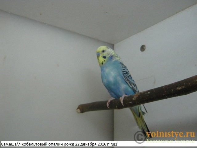 Волнистые молоденькие попугайчики для разговора - IMG_9708.JPG