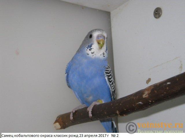 Волнистые молоденькие попугайчики для разговора - IMG_9761.JPG