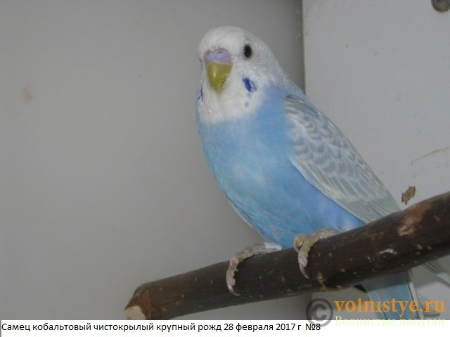Волнистые молоденькие попугайчики для разговора - IMG_9706.JPG