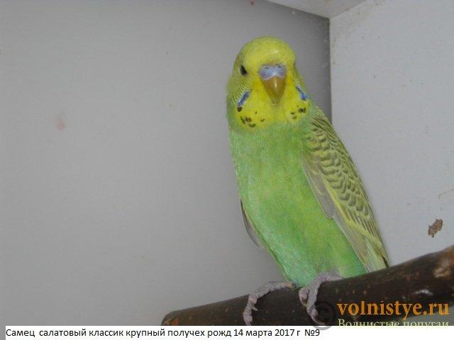 Волнистые молоденькие попугайчики для разговора - IMG_9717.JPG