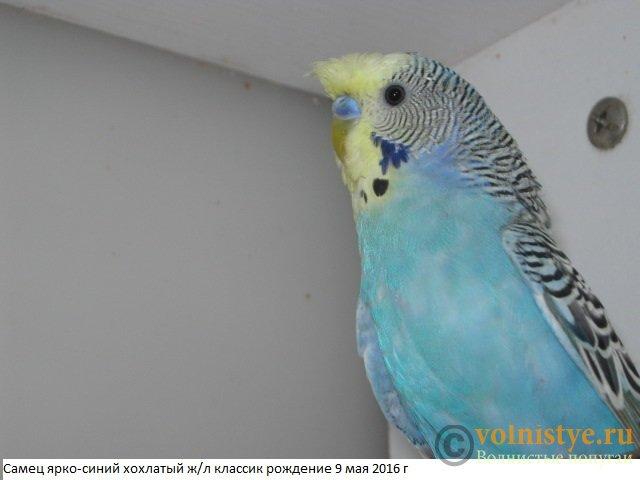 Волнистые молоденькие попугайчики для разговора - IMG_9515.JPG