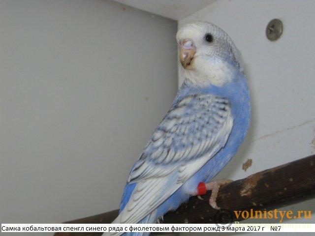 Волнистые молоденькие попугайчики для разговора - IMG_9475.JPG