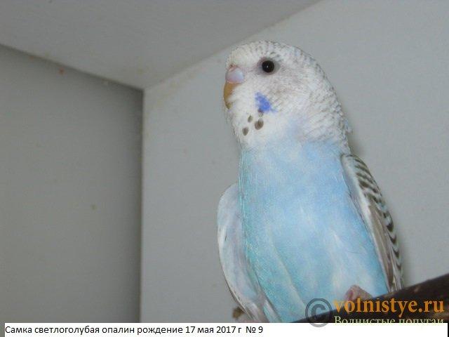 Волнистые молоденькие попугайчики для разговора - IMG_9767.JPG
