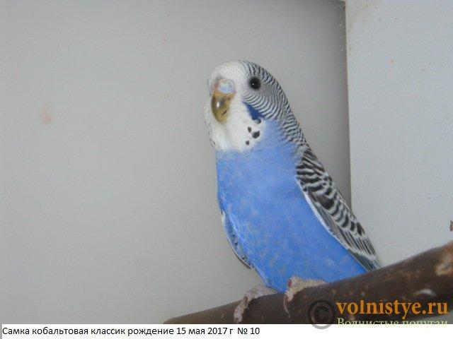 Волнистые молоденькие попугайчики для разговора - IMG_9755.JPG