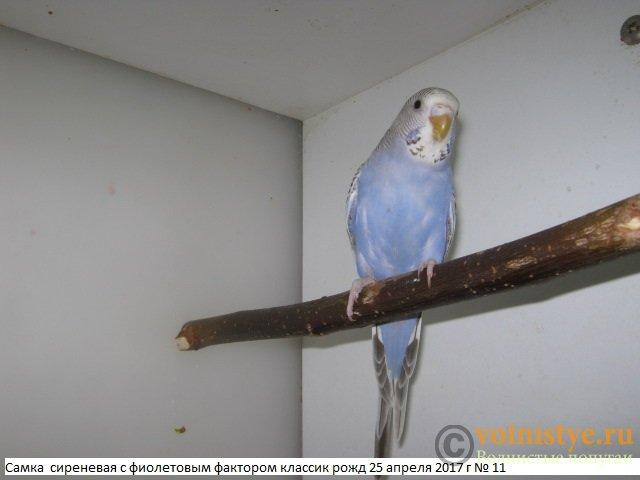 Волнистые молоденькие попугайчики для разговора - IMG_9762.JPG