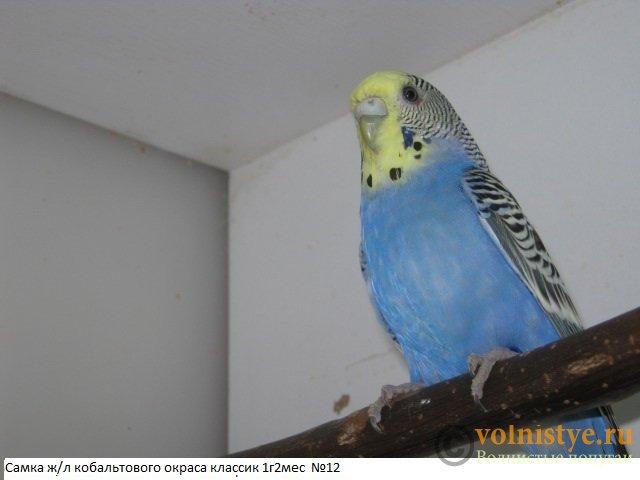 Волнистые молоденькие попугайчики для разговора - IMG_9744.JPG