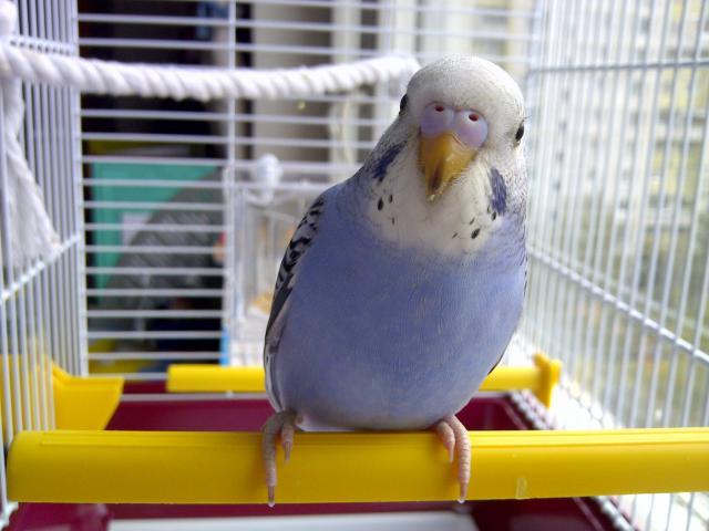 Молодой волнистый попугайчик. - IMG-20120924-00976.jpg