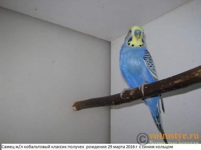 Волнистые молоденькие попугайчики для разговора - IMG_9795.JPG