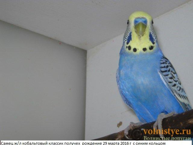 Волнистые молоденькие попугайчики для разговора - IMG_9799.JPG