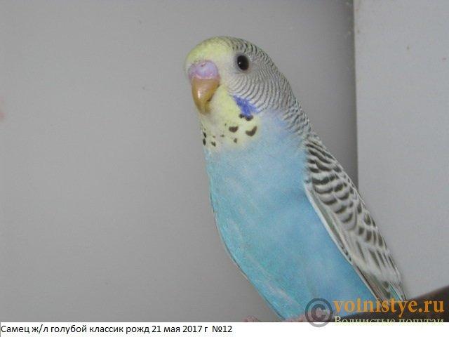 Волнистые молоденькие попугайчики для разговора - IMG_9815.JPG