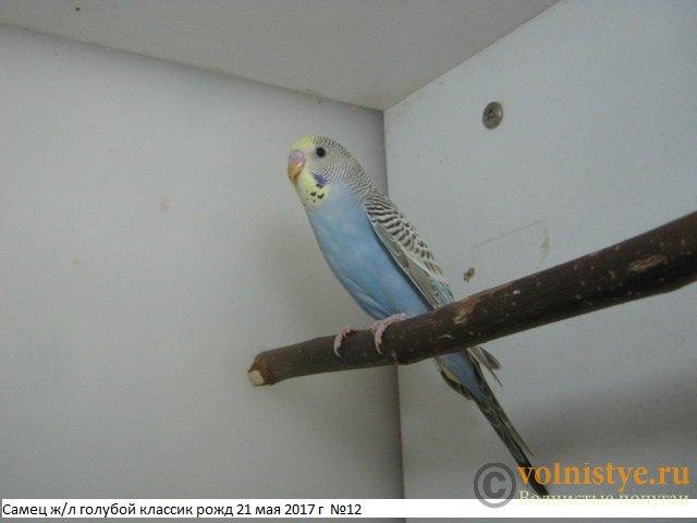Волнистые молоденькие попугайчики для разговора - IMG_9812.JPG