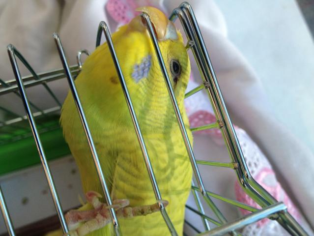 Волнистый попугай - IMG_0757.jpg