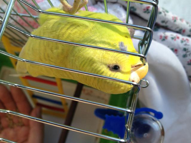 Волнистый попугай - IMG_0759.jpg