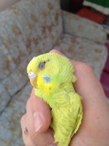 Волнистый попугай - IMG_0764.jpg