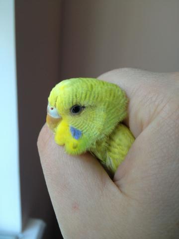 Волнистый попугай - IMG_0765.jpg