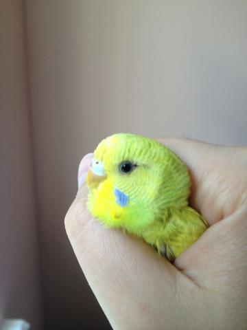 Волнистый попугай - IMG_0766.jpg