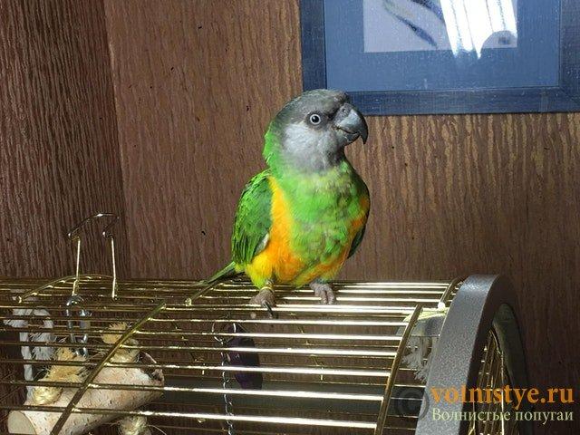 Улетел Сенегальский попугай в Севастополе - Senya.jpg