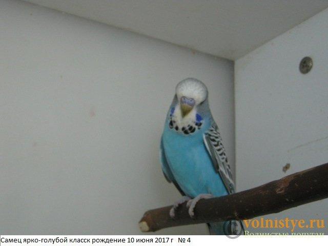 Волнистые попугаи выставочного типа молодежь Москва - IMG_9827.JPG