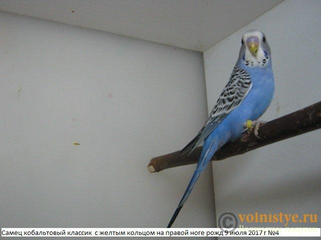 Волнистые молоденькие попугайчики для разговора - IMG_9947.JPG