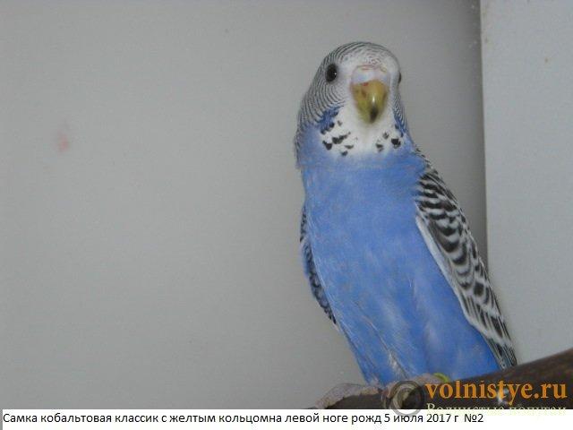 Волнистые молоденькие попугайчики для разговора - IMG_9931.JPG
