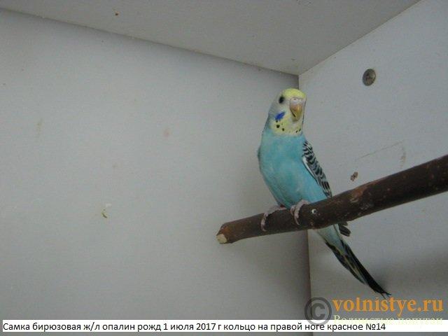 Волнистые молоденькие попугайчики для разговора - IMG_9957.JPG