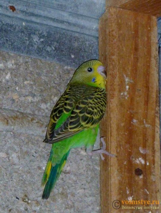 Определение пола и возраста попугаев № 10 - Кто он).jpg