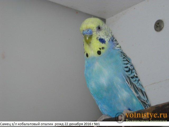 Волнистые молоденькие попугайчики для разговора - IMG_9712.JPG