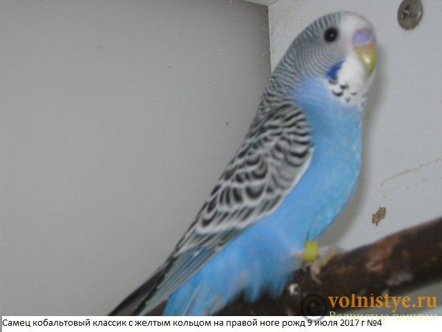 Волнистые молоденькие попугайчики для разговора - IMG_9949.JPG