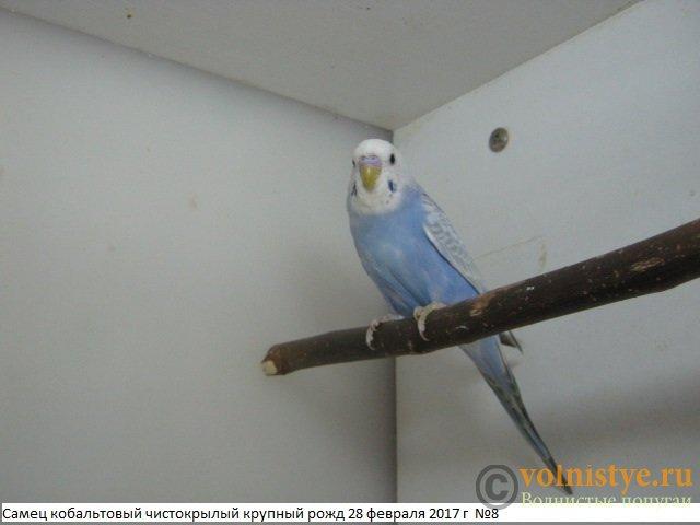 Волнистые молоденькие попугайчики для разговора - IMG_9703.JPG